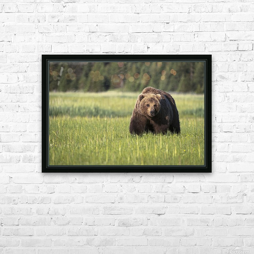 Brown bear (ursus arctos) in Lake Clark National Park; Alaska, United States of America HD Sublimation Metal print with Decorating Float Frame (BOX)