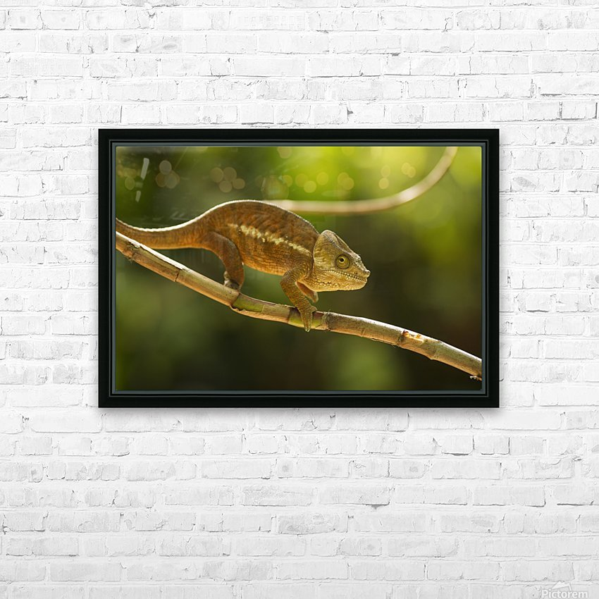 Chameleon in his natural habitat, Madagascar HD Sublimation Metal print with Decorating Float Frame (BOX)