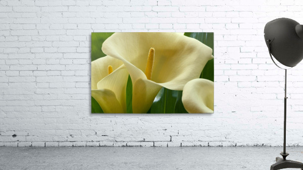 Hawaii, Big Island, Volcano, Calla Lilies, Close-Up B1587