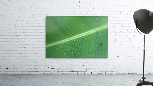Close-Up Detail Green Banana Leaf With Droplets Of Water, Dew