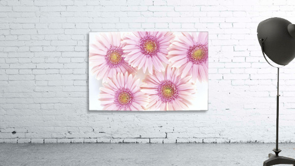 Close-Up Of Pink Daisies Set Together On White Background Studio Shot