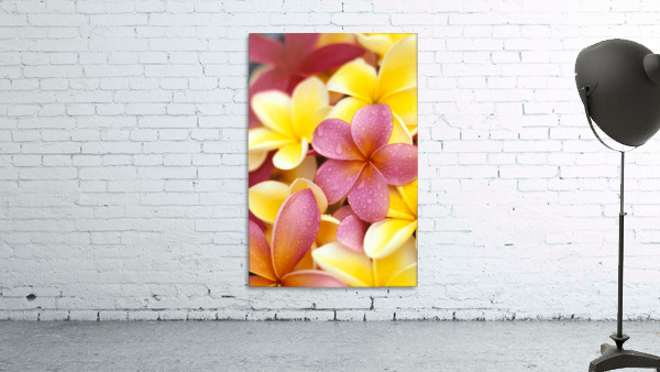 Studio Shot Of Yellow And Two Pink Plumeria Flowers, Water Drops On Petals