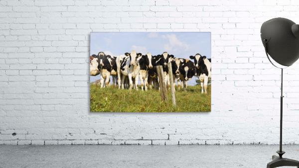 View Of Cows, Bas-Saint-Laurent Region, Quebec, Canada