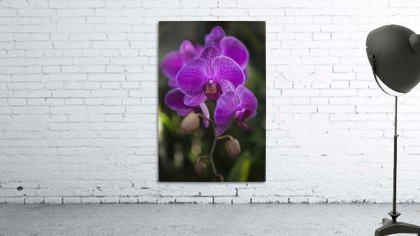 Phalaenopsis orchids in bloom; Kailua, Island of Hawaii, Hawaii, United States of America