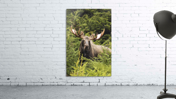 Bull moose (alces alces) in rutting period, Powerline Pass, South-central Alaska; Alaska, United States of America