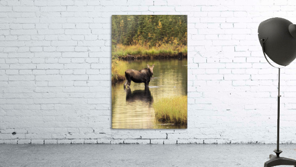 Moose (alces alces) feeding in a shallow pond south of Cantwell, photo taken from Parks Highway common moose habitat; Alaska, United States of America