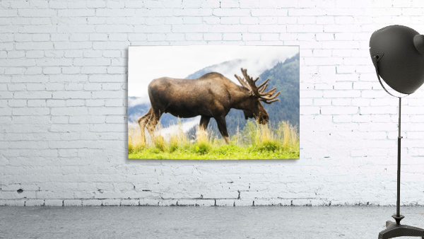 Bull moose (alces alces) with antlers in velvet, captive in Alaska Wildlife Conservation Center, South-central Alaska; Portage, Alaska, United States of America