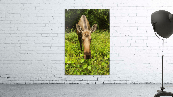 Cow moose (alces alces), close up with a wide angle lense, south-central Alaska; Alaska, United States of America