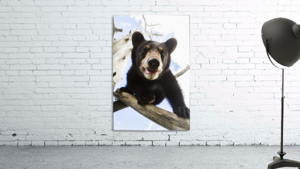 Black bear cub (ursus americanus), captive in Alaska Wildlife Conservation Center, South-central Alaska; Portage, Alaska, United States of America