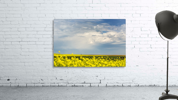 Flowering canola field with dark storm clouds and cattle grazing; Nanton, Alberta, Canada