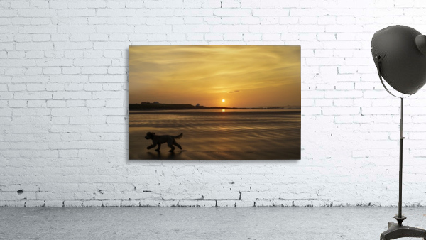 A dog runs across a wet beach with the golden sun setting in an orange sky along the coast and Bamburgh Castle in the distance; Bamburgh, Northumberland, England