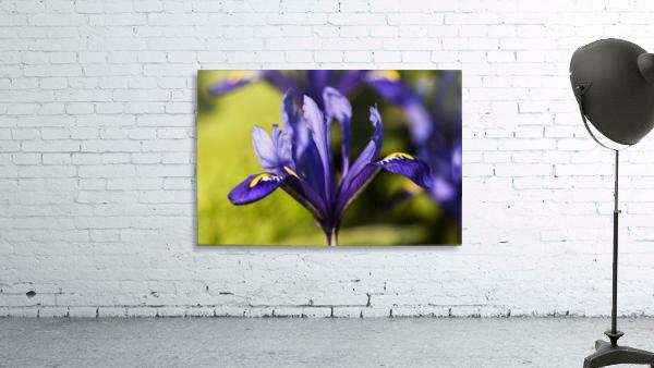 Dwarf Iris blooms in February; Oregon, United States of America