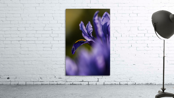 The dwarf Iris is one of the first flowers to bloom in the spring; Oregon, United States of America