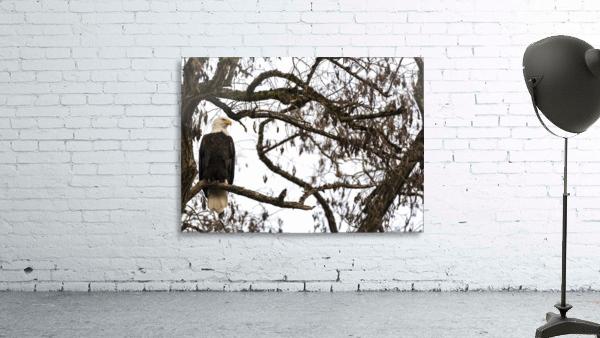 Bald Eagle (Haliaeetus leucocephalus) perched in a tree, Cowichan Bay; British Columbia, Canada