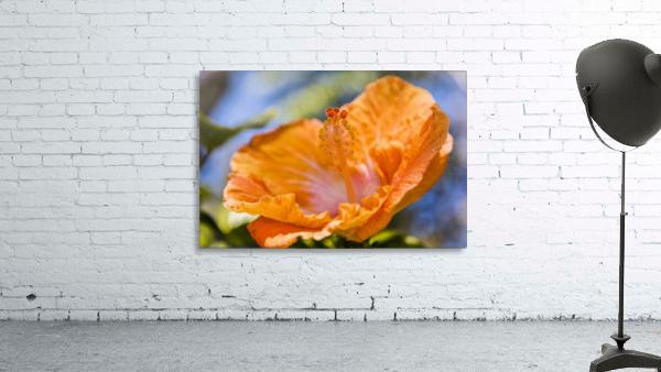 Close-up of orange hibiscus flower; Maui, Hawaii, United States of America