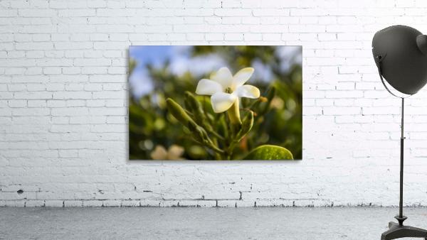 Close-up of puakenikeni flower; Lanai, Hawaii, United States of America