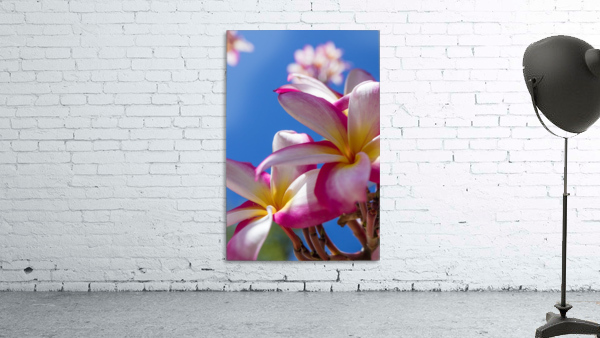 Close-up of pink plumeria flowers and blue sky; Lanai, Hawaii, United States of America