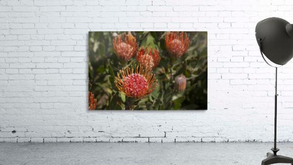 Pincushion (Scabiosa) protea flower; Kula, Maui, Hawaii, United States of America