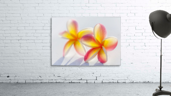 A pair of beautiful yellow and pink Plumeria flowers together (Apocynaceae) on a white background; Honolulu, Oahu, Hawaii, United States of America