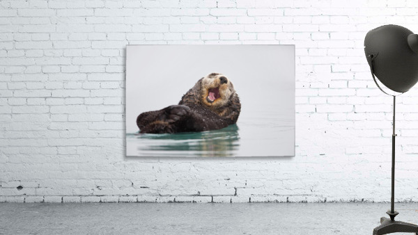 Sea Otter Floating On Back Scratching Head And Yawning, Prince William Sound, Southcentral Alaska, Winter