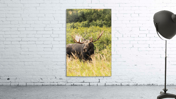 Bull moose (alces alces) in the rutting period, Powerline Pass, South-central Alaska; Anchorage, Alaska, United States of America