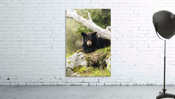 Black bear cub (ursus americanus), captive at the Alaska Wildlife Conservation Center, South-central Alaska; Portage, Alaska, United States of America