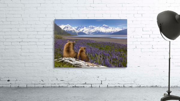COMPOSITE: Grizzly Sow & cub sit in lupine along Seward Highway, Turnagain Arm, Southcentral Alaska