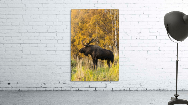Bull moose (alces alces) with antlers, South-central Alaska; Anchorage, Alaska, United States of America