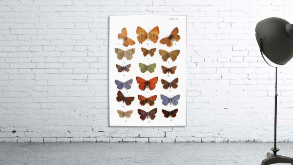 Different types of butterflies. Illustration by W.S.Furneaux. From the book Butterflies, Moths and Other Insects and Creatures of the Countryside. Published 1927.