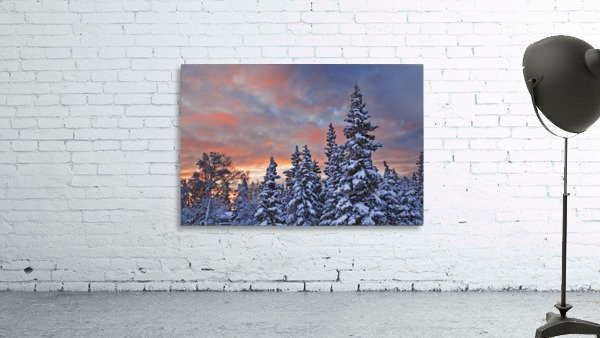 View Of Snow Covered Spruce Trees In A Rural Area Of Anchorage At Sunset, Southcentral Alaska, Winter