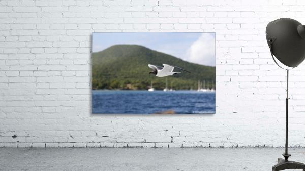 Laughing Tern in Flight