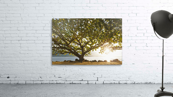 Hawaii, Kauai, Hanalei Bay, Large tree on beach, Sun shining.