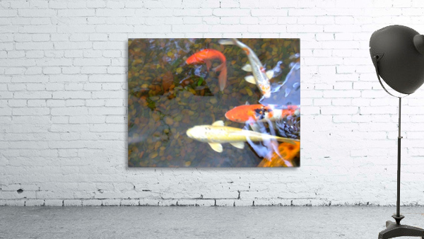 Koi Fish In Home Pond