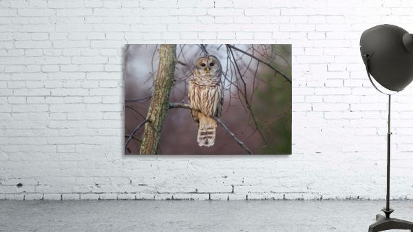 Barred Owl at sunrise.