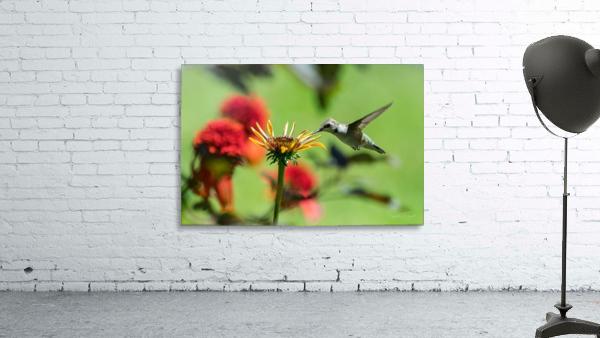 Colibri butinant