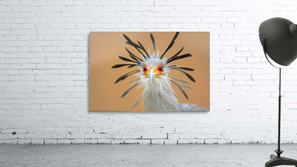 Secretary bird portrait close-up head shot