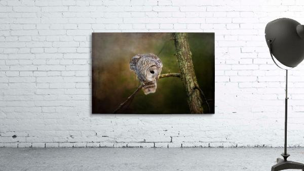 Barred Owl Eyeing Prey.
