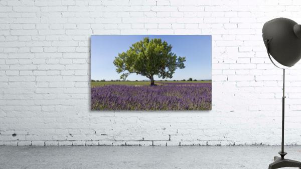 Tree in a lavender field
