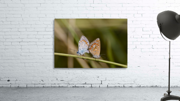Coupling of common blue