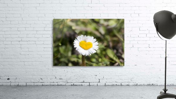 Heart shaped daisy