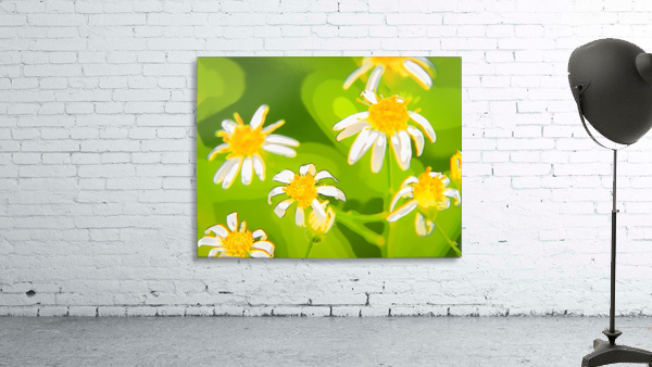 My Daisies - Mes Marguerites