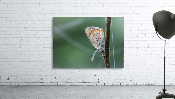 Lycaena tytirus butterfly