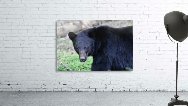 2350- black bear