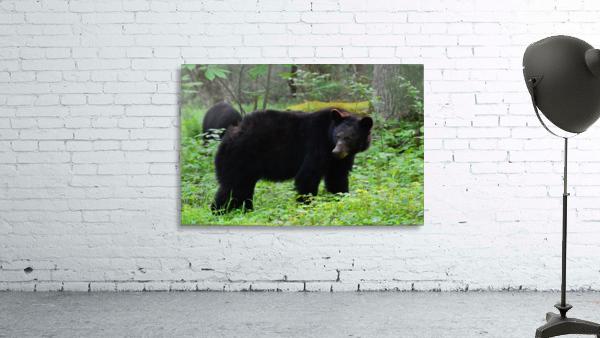 3299-Black Bear