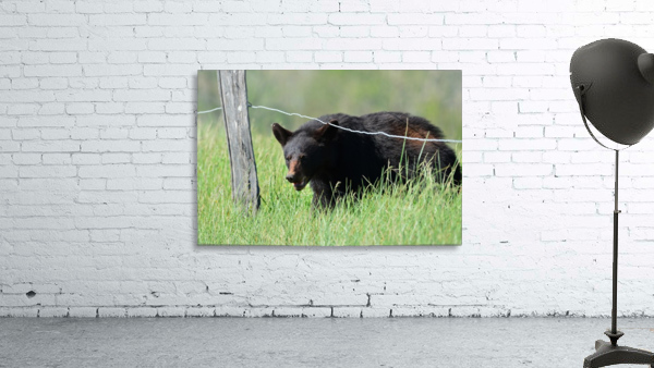 2966-Black Bear