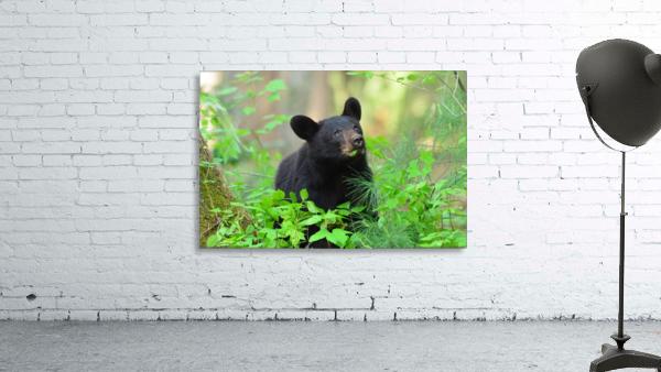 3597-Black Bear