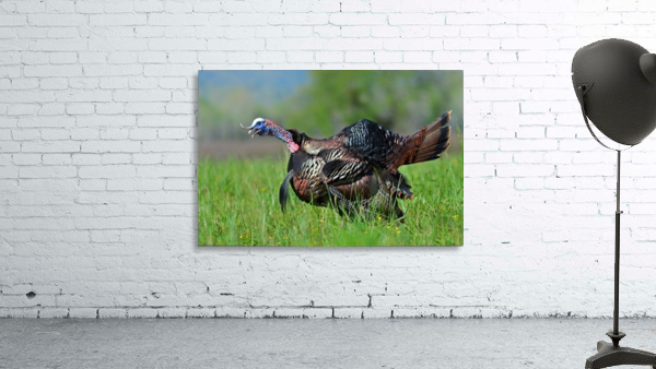 7_Gobbling Turkey