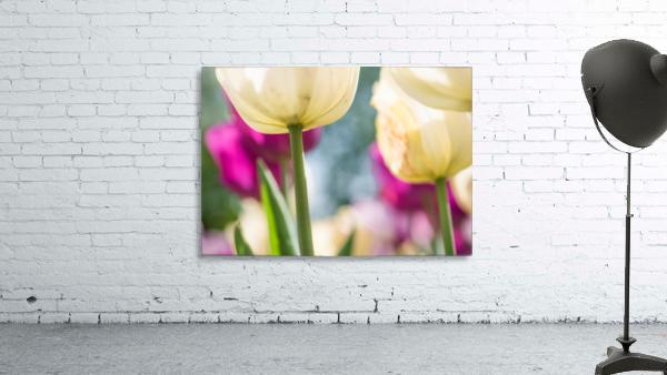 Under The Tulips - Sous Les Tulipes