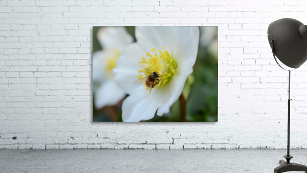 Bee On White Flower Photograph