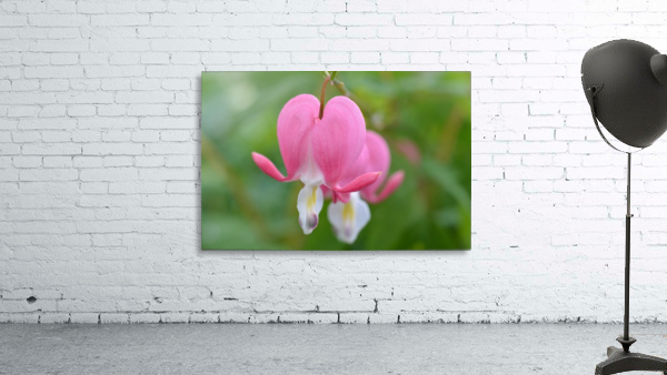 Bleeding Heart Flower Photograph
